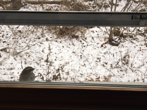 white-throated-sparrow-at-window-sill