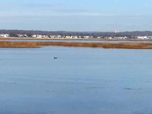 milford-point-loon-in-housatonic-river