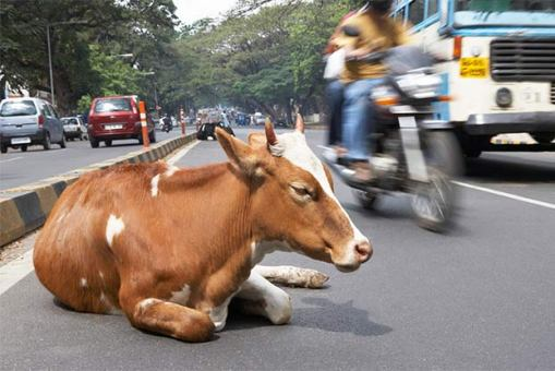Cow in india in road.
