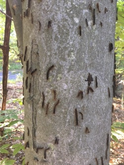 gypsy moth trunk