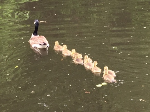 Windsor Locks Canal goose family