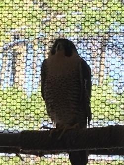 APCH falcon